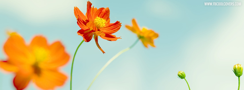Cosmos Flowers Facebook Cover